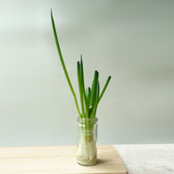 How to Regrow Green Onions
